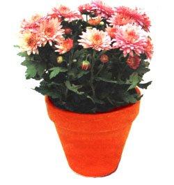 Хризантемы - Комнатные растения