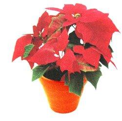 Пуансетия - Комнатные цветы