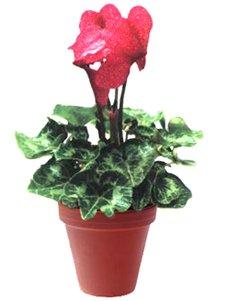 Цикламен персидский - Комнатные цветы