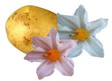 Картофель - Лекарственные растения
