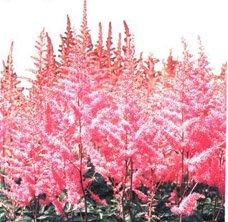 Астильба арендса гибридная - Комнатные растения