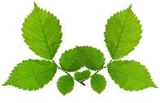 Лечение геморроя  листьями осины