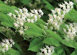 Каштан конский - Лекарственные растения