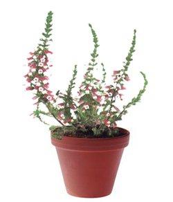 Вереск зимующий - Комнатные цветы