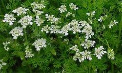 Кориандр посевной - Лекарственные растения