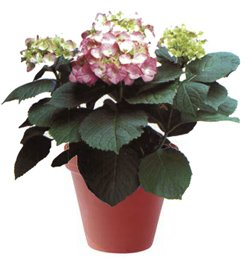 Гидрангея крупнолистая - Комнатные цветы