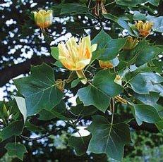 Спатодея колокольчиковая или Африканское тюльпанное дерево