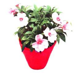 Недотрога, бальзамин валера - Комнатные цветы