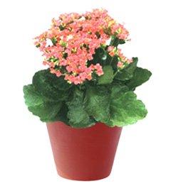 Каланхоэ блосфельда - Комнатные цветы