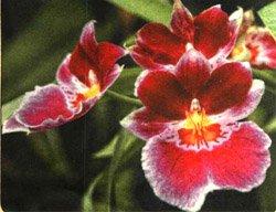 Орхидея мильтония - Комнатные растения