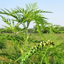 Перечень продуктов, которые запрещены при аллергии на пыльцу и злаковые