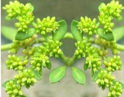 Грыжник гладкий (грыжник голый) - Лекарственные растения