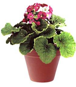 Примула обратноконическая - Комнатные цветы