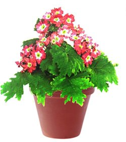 Примула китайская - Комнатные цветы