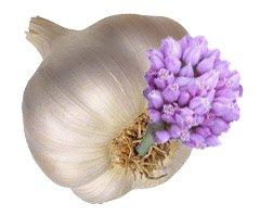 Лук-чеснок, чеснок - Лекарственные растения