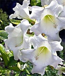 Бьюмонтия крупноцветковая (Beaumontia grandiflora)