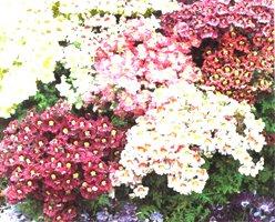 Схизантус оперенный - Комнатные цветы