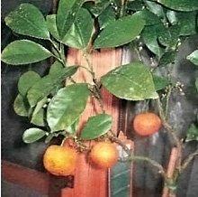 Если мандарин стал терять листья