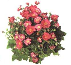 Крестовник кровавый - Комнатные цветы