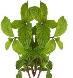 Мелисса лекарственная - Лекарственные растения