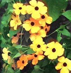 Тунбергия крылатая - Комнатные растения