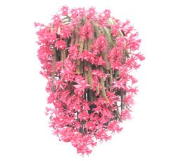 Лесной кактус с длинными до 90 см