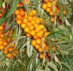 Облепиха крушиновидная - Лекарственные растения
