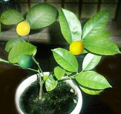 Растить лимон в домашних условиях