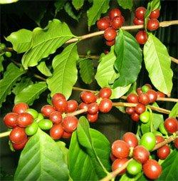 Чем полезно кофейное дерево