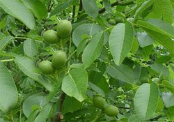 Орех грецкий - Лекарственные растения