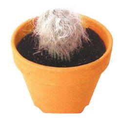 Цефалоцереус старческий - Комнатные цветы