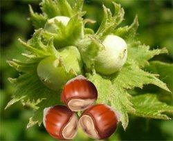 Орех  лесной - Лекарственные растения