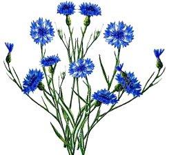 Картинка василек цветок для детей