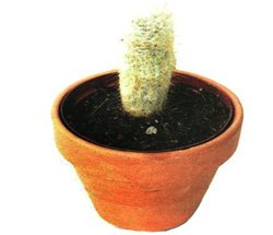 Клейстокактус штрауса - Комнатные растения