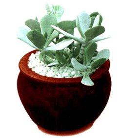 Котиледон округлый - Комнатные цветы