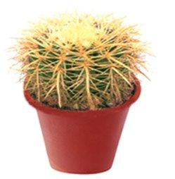 Эхинокактус грусона - Комнатные цветы