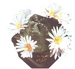 Эхиноцетрус Книппеля - Комнатные цветы