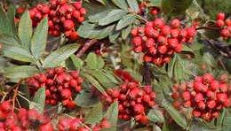 Рябина обыкновенная - Лекарственные растения