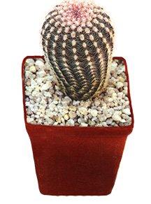 Эхиноцереус гребенчатый - Комнатные цветы