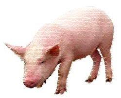 Гороскоп на 2013 год Свинья