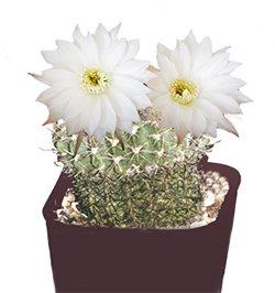 Эхинопсис эйриеза - Комнатные цветы