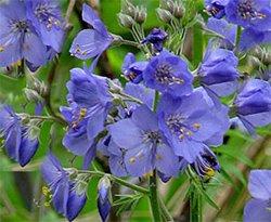 Синюха голубая - Лекарственные растения