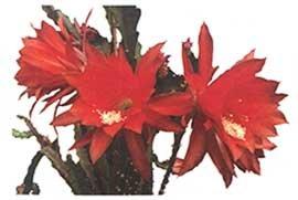 Эпифиллум акермана - Комнатные цветы