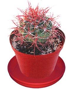 Ферокактус колючий - Комнатные растения