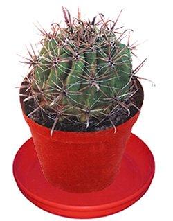 Ферокактус  щетинистый - Комнатные растения