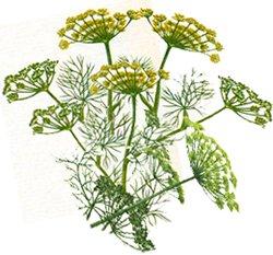 Укроп пахучий - Лекарственные растения