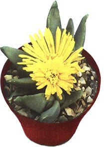 Глоттифиллум языковидный - Комнатные растения
