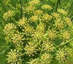 Укроп аптечный (фенхель) - Лекарственные растения