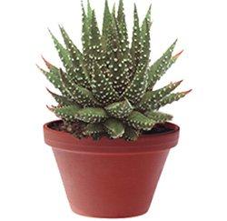 Хавортия жемчугоносная - Комнатные растения
