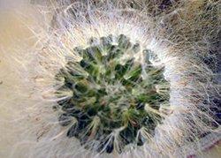 Маммиллярия бокасская - Комнатные растения
